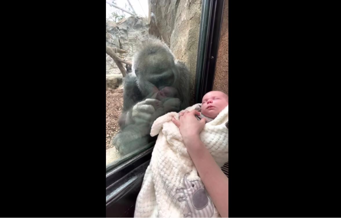 """Μαμά – γορίλας """"λιώνει"""" με το μωρό επισκεπτών – Συγκινεί η σκηνή που """"συστήνει"""" το γιο της (video)"""