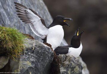Θαλάσσια Προστατευόμενη Περιοχή ανακηρύσσεται ο «παράδεισος» των θαλασσοπουλιών στον Β. Ατλαντικό